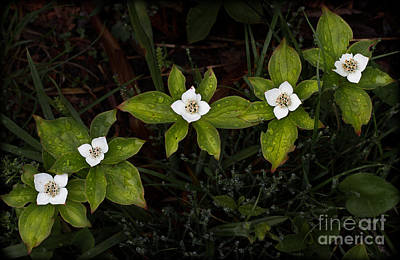 Photograph - Bunchberry Flowers by Jim Crawford