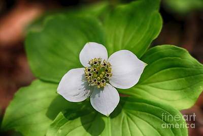 Firefighter Patents Royalty Free Images - Bunchberry Wild Flower Royalty-Free Image by Elizabeth Dow