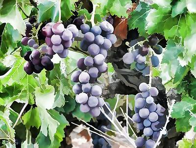 Bunches Of Wine Grapes  Art Print by Lanjee Chee