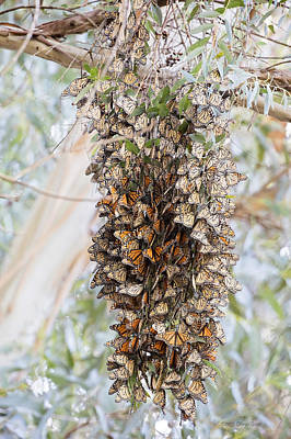 Photograph - Bundles Of Butterflies by Deana Glenz