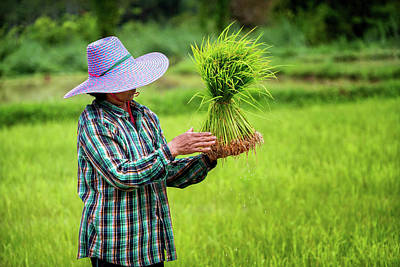 Lee Craker Royalty-Free and Rights-Managed Images - Bundling and Transplanting Rice  by Lee Craker