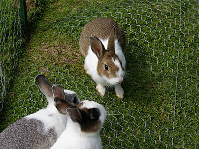 Rabbit Photograph - Bunnies by Lisa Hebert