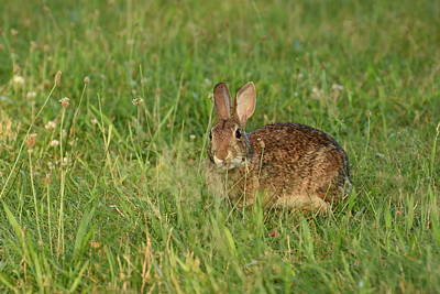 Belmont Lake State Park Wall Art - Photograph - Bunny At Breakfast by Joan D Squared Photography