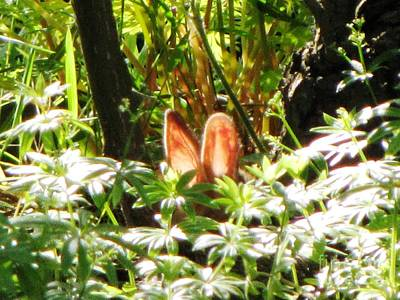 Photograph - Bunny In Sweet Woodruff by Melissa Stoudt