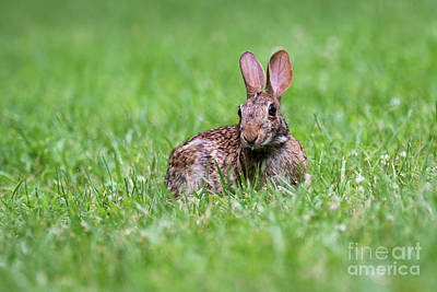 Photograph - Bunny Rabbit by Andrea Silies