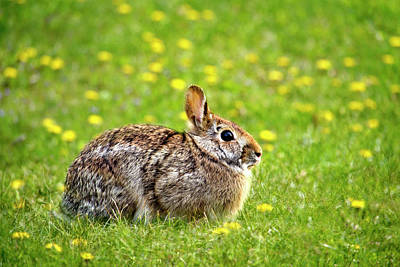 Photograph - Bunny Rabbit by Christina Rollo