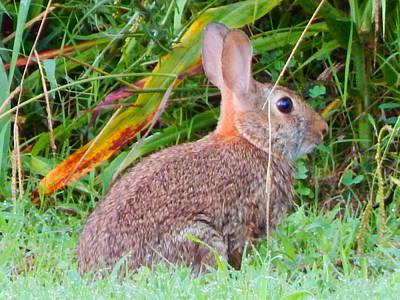 Photograph - Bunny Rabbit by Virginia Kay White