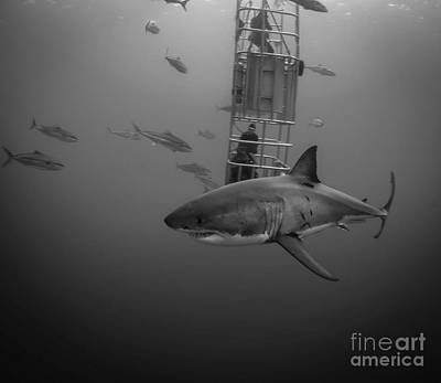 Cage Dive Photograph - Buoyant  Shark by Ryan Ware