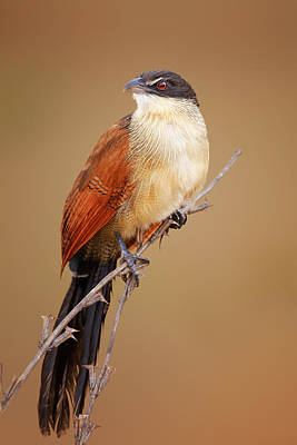 Colorful Photograph - Burchell's Coucal - Rainbird by Johan Swanepoel