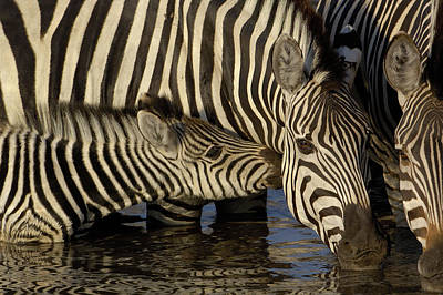 Burchells Zebra Equus Burchellii Foal Art Print