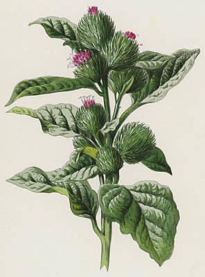 Wildflower Drawing - Burdock by Frederick Edward Hulme