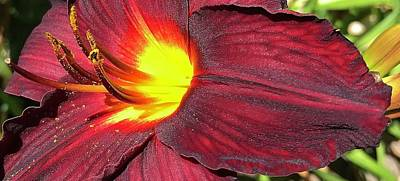 Photograph - Burgandy Daylily by Bruce Bley