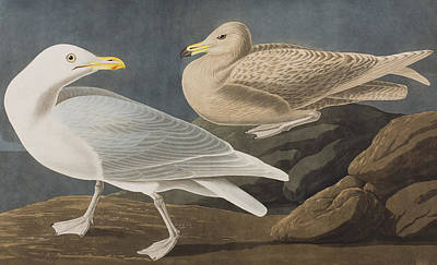 Seagull Drawing - Burgomaster Gull by John James Audubon