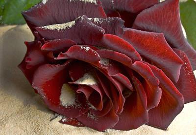 Burgundy Rose Art Print by Svetlana Sewell