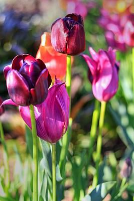 Photograph - Burgundy Tulips In Bloom II by Carol Montoya