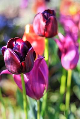 Photograph - Burgundy Tulips In Bloom by Carol Montoya