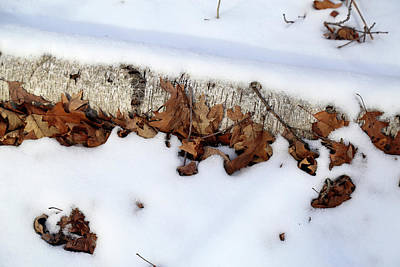 Photograph - Buried Birch 2 by Mary Bedy