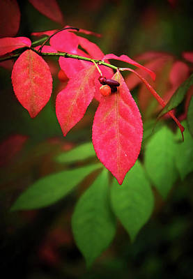 Photograph - Burning Bush Fall Transition by Carolyn Derstine