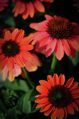 Romantic French Magazine Covers - Burnt Orange Coneflowers 3758 H_2 by Steven Ward