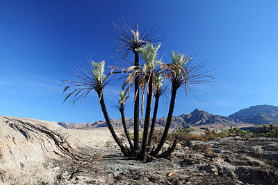 Photograph - Burnt Palm Trees In The Desert by Pierre Leclerc Photography