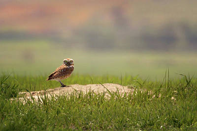 Photograph - Burrowing Owl 1 by Susan Rissi Tregoning