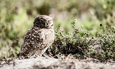 Photograph - Burrowing Owl 2 by Tracy Winter