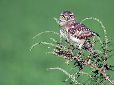 Photograph - Burrowing Owl 2212-080318-1cr by Tam Ryan