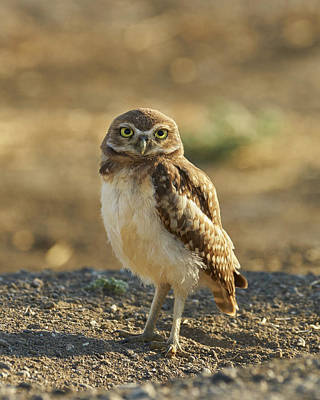 Photograph - Burrowing Owl #6 by Doug Herr