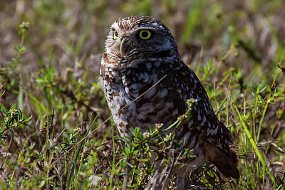 Photograph - Burrowing Owl 6 by Richard Goldman