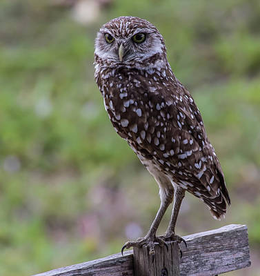 Photograph - Burrowing Owl 7 by Richard Goldman