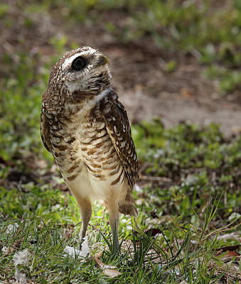 Photograph - Burrowing Owl 9 by Richard Goldman