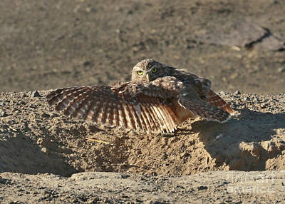 Photograph - Burrowing Owl Afternoon Stretch by Carol Groenen