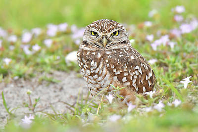 Photograph - Burrowing Owl by Alan Lenk
