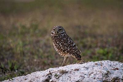 Photograph - Burrowing Owl At Dusk by Framing Places