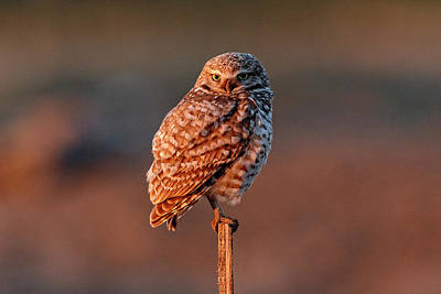 Photograph - Burrowing Owl At First Light by Wes and Dotty Weber