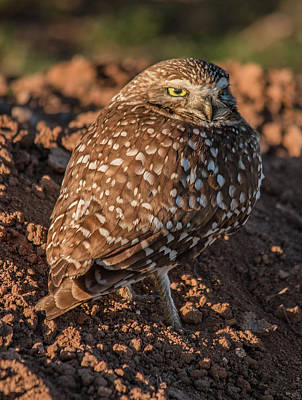 Photograph - Burrowing Owl At Sunrise by Teresa Wilson