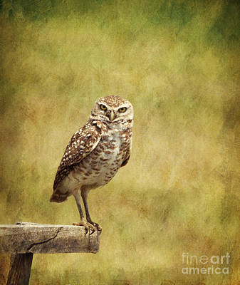 Photograph - Burrowing Owl Athene Cunicularia by Liz Leyden