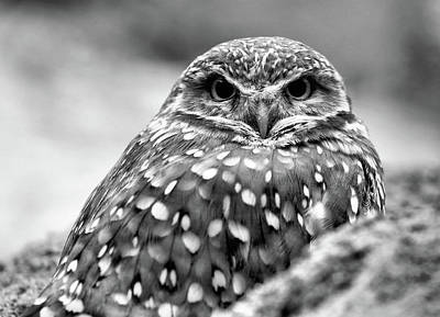 Photograph - Burrowing Owl Black And White by JC Findley