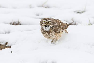 Photograph - Burrowing Owl Calls In The Snow by Tony Hake