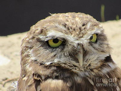 Photograph - Burrowing Owl by Cindy Fleener