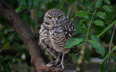 Photograph - Burrowing Owl Color Version by Judy Wanamaker