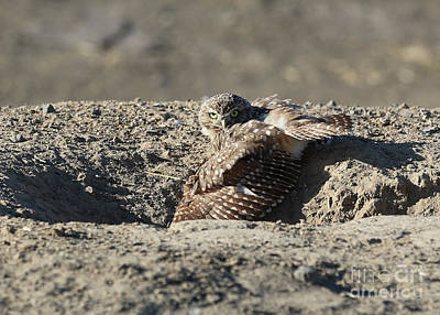 Photograph - Burrowing Owl Cooling Off by Carol Groenen