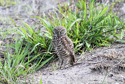 Photograph - Burrowing Owl by David Barker