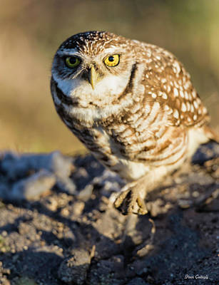 Photograph - Burrowing Owl by Fran Gallogly