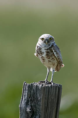Print featuring the photograph Burrowing Owl by Gary Lengyel