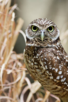 Photograph - Burrowing Owl Head Shot by Jill Lang