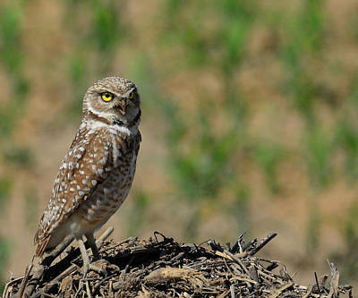 Photograph - Burrowing Owl Hill by Steve McKinzie