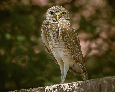 Photograph - Burrowing Owl-img_3544 by Rosemary Woods-Desert Rose Images