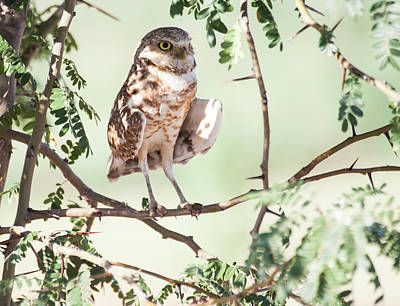 Photograph - Burrowing Owl In A Tree by Ruth Jolly