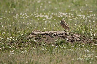 Owl Photograph - Burrowing Owl In Field by Nikki Vig